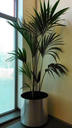 big kentia palm   office plants indoor plants house
