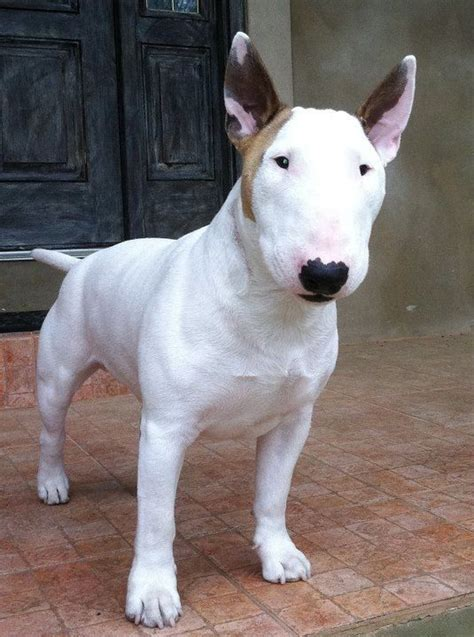 bull terrier puppies rescue pictures information the 25 best mini bull terriers ideas on pinterest bull