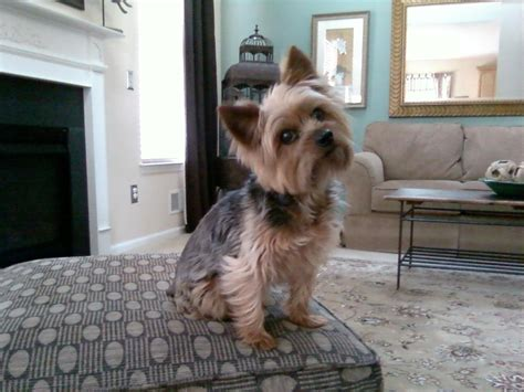 the cutest yorkie in the world the home of raffy the worlds cutest yorkie breeds picture
