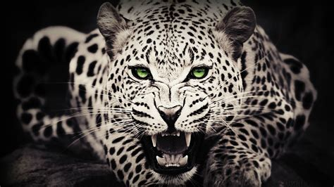 black and white leopard wallpaper black white leopard wallpaper for android wallpaper