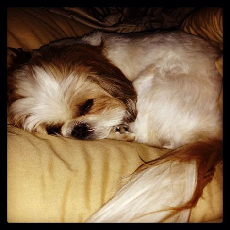 7 year shih tzu 59 best images about shih tzu on mohawks earning money and my birthday