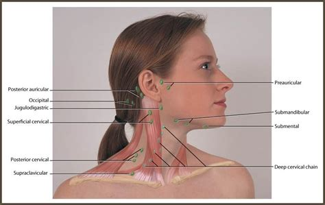 neck and regional lymph at allen college studyblue