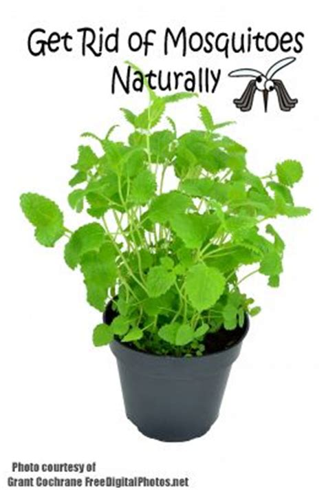 how to get rid of mosquitoes naturally 8 plants that fight mosquitoes hubadub get rid of