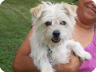 shih tzu west highland terrier mix louie adopted sylva nc westie west highland white terrier shih tzu mix