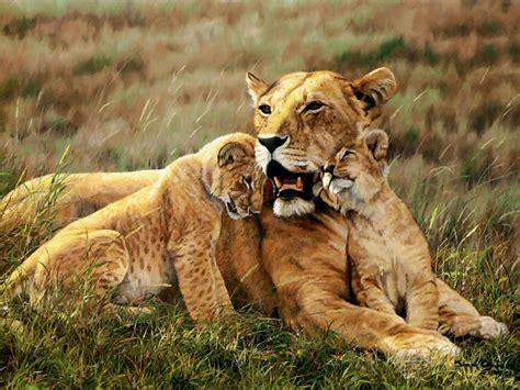 imagenes de leones romanticos combes simon aftermath fondos de pantalla animales fondos