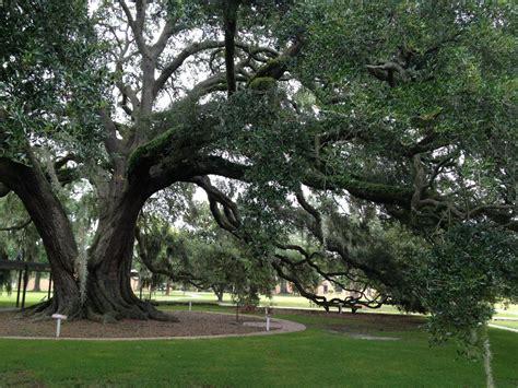 caring for live oak trees hgtv