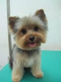 yorkie teddy haircut plus de 1000 id 233 es 224 propos de puppies sur pinterest
