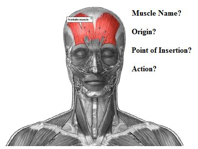 Anatomy Muscle Quiz - Head and Neck at Faculty of ... Frontalis Muscle Origin Insertion Action