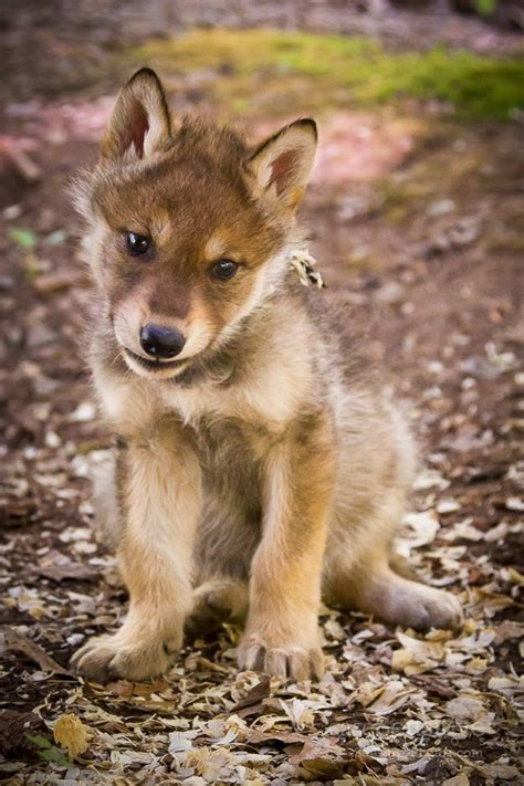 wolf puppy gray wolf puppies arrive at bays mountain park casesensitive photos