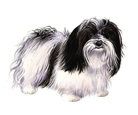 havanese average weight havanese wisdom panel