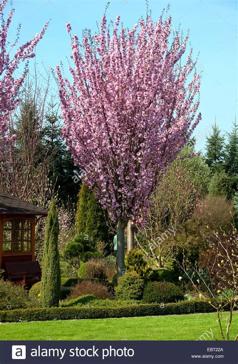 8 cherry tree box hill south sargent cherry sargent s cherry prunus sargentii blooming stock photo 76131170 alamy