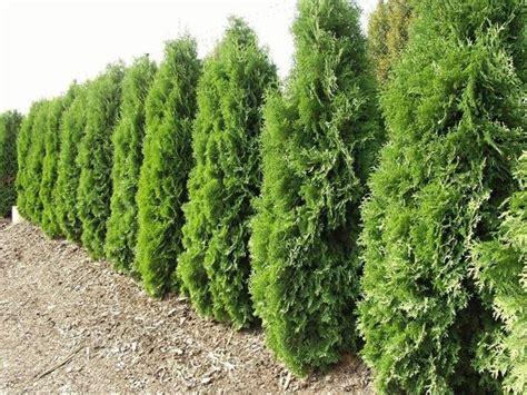 abeti nani da giardino alberi per siepi siepi siepi con alberi