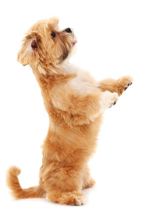 free puppy classes pin maltese puppy trainingjpg on