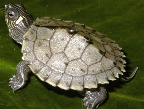 juvenile mississippi map turtles graptemys pseudogeographica