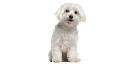 how many puppies can a maltese maltese insurance reviews and comparisons