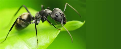 black ants black ant website name