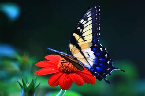 wallpaper bunga dan kupu2 25 gambar kupu kupu wallpaper kupu kupu cantik terindah