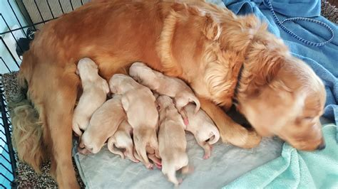 chadwick golden retrievers golden retriever puppies for sale chadwick s goldens