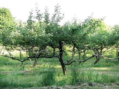 pruning fruit trees 1000 images about pruning fruit trees on