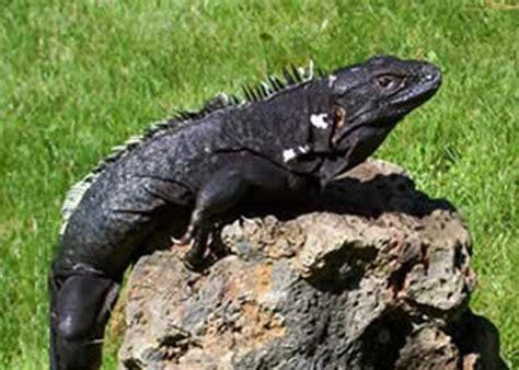 imagenes de iguanas verdes y negras criaturas y humanoides el bochornoso caso de la iguana