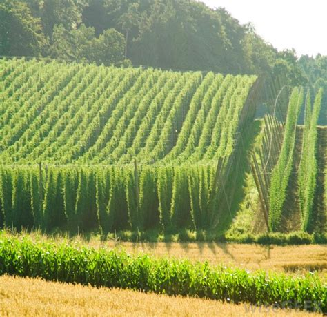 Hop Trellis System What Are The Different Types Of Farms With Pictures