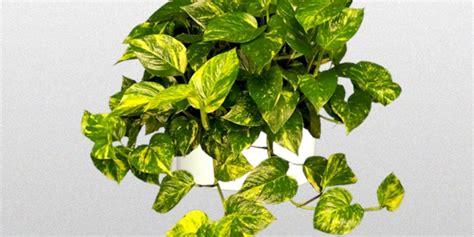 epipremnum aureum epipremnum aureum golden pothos superior plantscapes