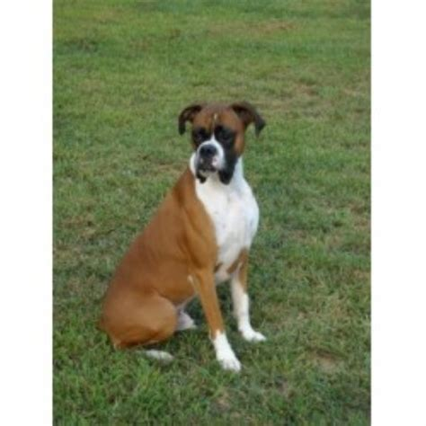 boxer puppies for sale missouri nardy s boxer pups boxer breeder in olin carolina
