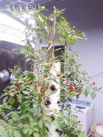 Tanaman Cabai Rawit Mini 5 langkah mudah dan tutorial menanam cabai vertikultur