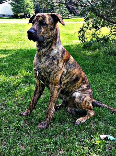 great daniff puppies for sale mastiff great dane puppies foto 2017