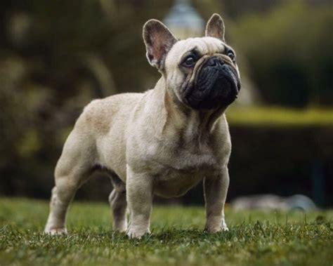 allevamenti cani pavia bouledogue francese cuccioli vendita cucciolo di