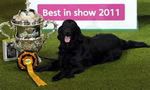 Sho Best In Show retriever brings back the ultimate prize by winning best