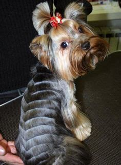 how to thin yorkies hair 1000 images about yorkshire on pinterest yorkie