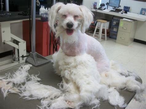 shipoo must be shaved for mats will her beautiful fur grow back com pet groomers