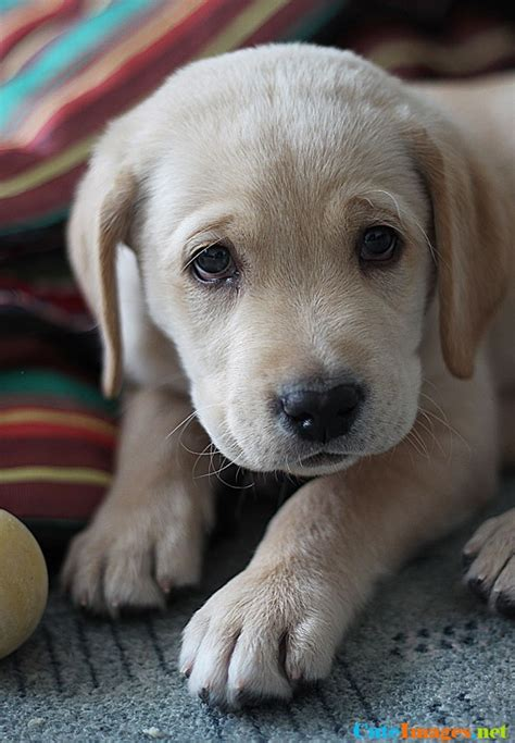 pictures of yellow lab puppies yellow labrador retriever puppy dogs cuteimages net