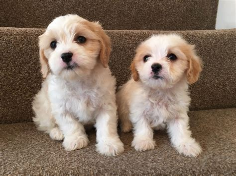 cavachon puppies cavachon puppies for sale stoke on trent in stoke on trent staffordshire gumtree