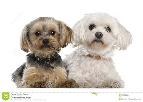 yorkie poo maltese pin terrier malti poo yorkie puppies for on