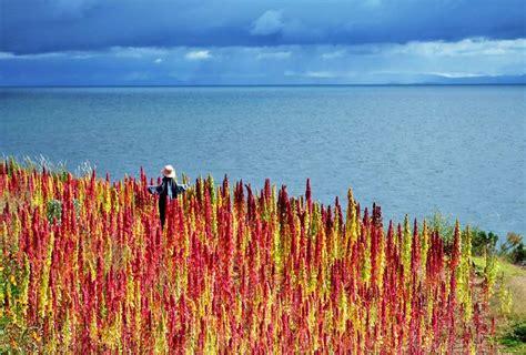 grow quinoa growing quinoa balcony garden web