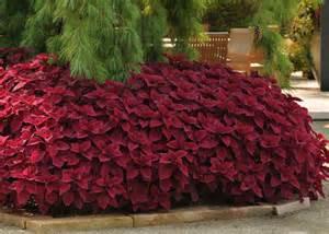 Fine Gardening Container Gardening - who needs flowers grow coleus for fine foliage garden club