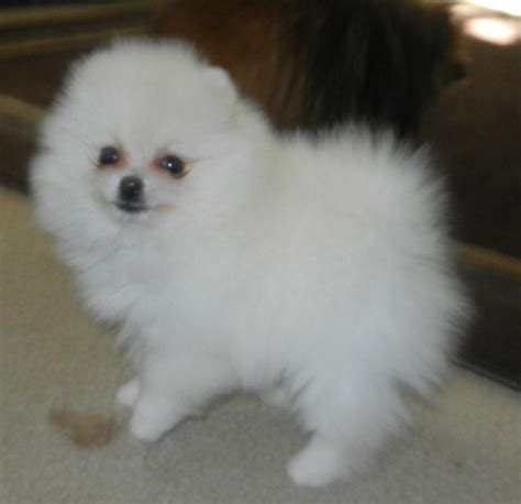 grown teacup pomeranians white teacup pomeranian grown up www imgkid the