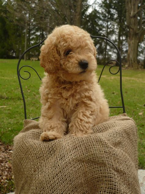 doodle puppies for sale in ontario 1000 images about labradoodles on labradoodle