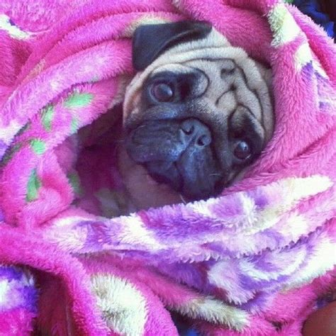 snuggle pug snuggle pug pugs