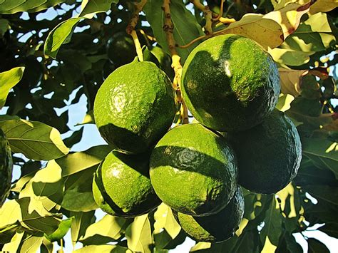 avocado tree from seed fruit here s everything you need to about avocados and 5
