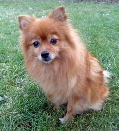 german spitz pomeranian mix 1000 images about pets on pomeranians fleas and german spitz