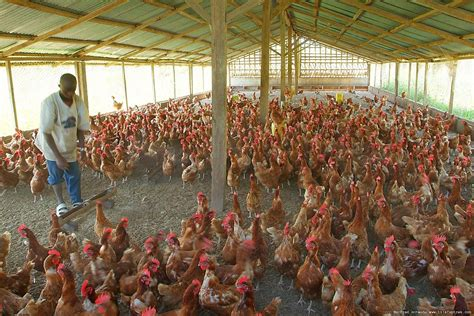 Starting A Small Home Farm How To Start Poultry Farming In Nigeria Best Guide