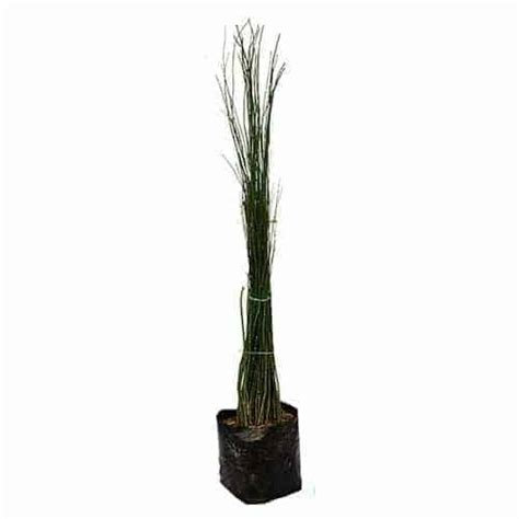 Obat Herbal Air Bambu jual tanaman bambu air hijau scouring bibit