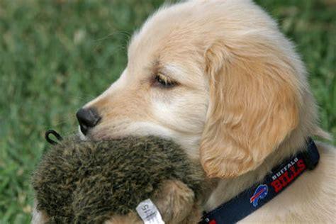 when is a golden retriever fully grown miniature golden retriever puppies breeds picture
