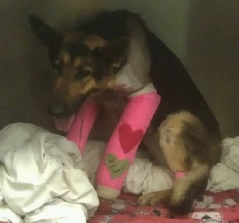rescue kansas city photos lindey german shepherd thrown kansas city overpass recovering after