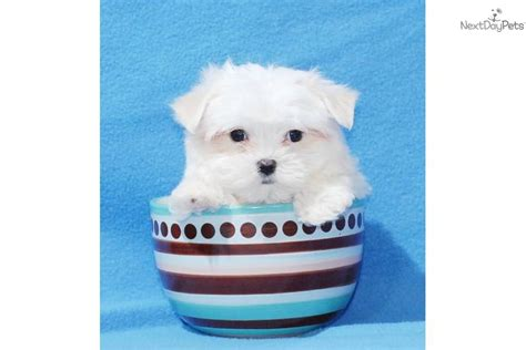teacup shih tzu price ebay free teacup puppies breeds picture