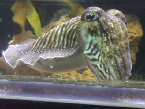 Cuttlefish Basics - Keeping a Cuttlefish as a Pet | The ...