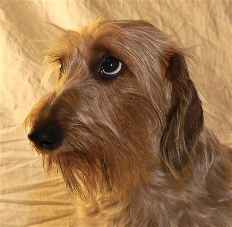 wire haired puppies 17 best ideas about wire haired dachshund on dachshund puppies dachshund